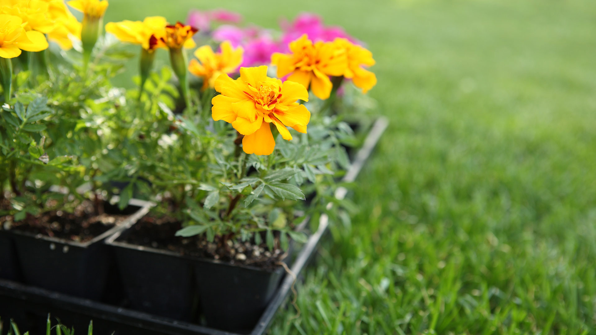 Examples of the type of flowers that Spring View Lawns plant for their annual flower planting service.