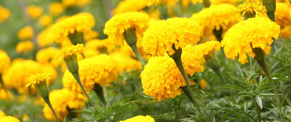 A collection of marigolds that were planted in the garden of a homeowner in Bowling Green, KY.
